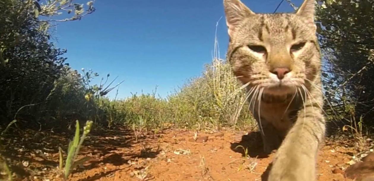 En Australie, les chats tuent plus de 1,5 milliard d'animaux par an | Le blob, l'extra-média
