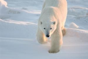 Photo transmise le 17 juillet 2020 par l'association Polar Bears International, montrant un ours polaire à Churchill, dans le Manitoba, Canada, en 2007 © POLAR BEARS INTERNATIONAL/AFP BJ Kirschhoffer